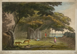 'View of remarkable Banian tree near Tanjore'. Coloured aquatint by J. Wells after a drawing by Capt. Trapaud, 1788